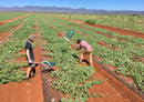 Risks and opportunities for Australian watermelon pollination